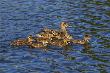Mallard (Anas platyrhynchos) mother and three-week-old ducklings, Spring Lake Regional Park, Santa Rosa, California