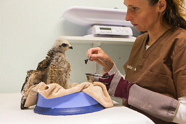 Red-shouldered Hawk (Buteo lineatus) rehabilitator, Melanie Piazza, feeding three-week-old orphaned chick, WildCare Wildlife Rehabilitation Center, San Rafael, California