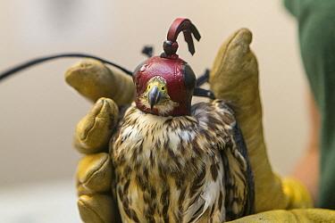 Merlin (Falco columbarius) wearing mask during veterinary procedure, Sonoma County Wildlife Rescue, Petaluma, California