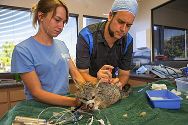 Common Gray Fox (Urocyon cinereoargenteus) veterinarian, Dan Famini, and rehabilitator, Danielle Mattos, with injured fox undergoing medical procedure, Sonoma County Wildlife Rescue, Petaluma, Califor...