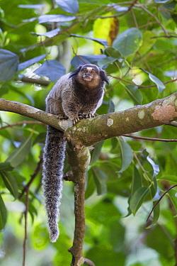 Black Tufted-ear Marmoset (Callithrix penicillata), Serra de Canastra National Park, Brazil
