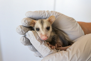 Virginia Opossum (Didelphis virginiana) orphaned joey held by rehabilitator, Sonoma County Wildlife Rescue, Petaluma, California