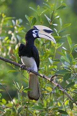 Oriental Pied-Hornbill (Anthracoceros albirostris), Sabah, Borneo, Malaysia