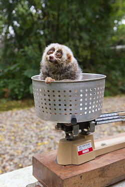 Northern Slow Loris (Nycticebus bengalensis) young from female that was rescued from illegal wildlife trade while pregnant being weighed, Endangered Primate Rescue Center, Cuc Phuong National Park, Vi...