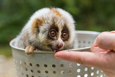 Northern Slow Loris (Nycticebus bengalensis) young from female that was rescued from illegal wildlife trade while pregnant being fed, Endangered Primate Rescue Center, Cuc Phuong National Park, Vietna...
