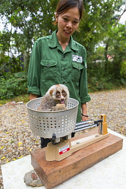 Northern Slow Loris (Nycticebus bengalensis) rehabilitator, Bui Thi Hanh, weighing young from female that was rescued from illegal wildlife trade while pregnant, Endangered Primate Rescue Center, Cuc...