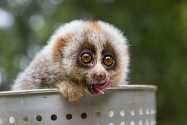 Northern Slow Loris (Nycticebus bengalensis) young from female that was rescued from illegal wildlife trade while pregnant licking lips, Endangered Primate Rescue Center, Cuc Phuong National Park, Vie...