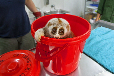 Northern Slow Loris (Nycticebus bengalensis) rescued from illegal wildlife trade, Endangered Primate Rescue Center, Cuc Phuong National Park, Vietnam