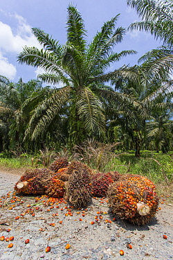 African Oil Palm (Elaeis guineensis) harvested fruit, Labuk Bay, Sabah, Borneo, Malaysia