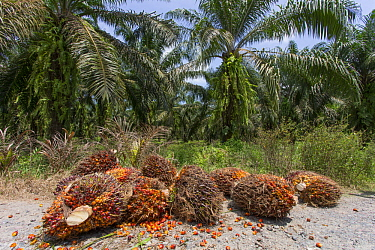 African Oil Palm (Elaeis guineensis) harvested fruit, Sabah, Borneo, Malaysia