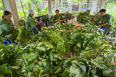 Conservationists preparing leaves for rescued primates, Endangered Primate Rescue Center, Cuc Phuong National Park, Vietnam