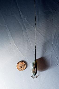 Marbled Murrelet (Brachyramphus marmoratus) radio transmitter, Newport, Oregon