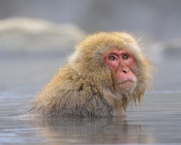 Japanese Macaque (Macaca fuscata) in hot spring, Jigokudani, Nagano, Japan