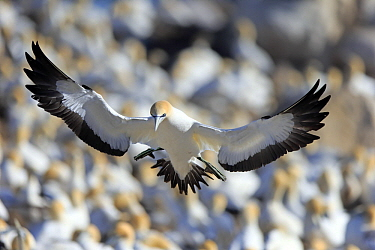 Cape Gannet (Morus capensis) landing in colony, Lambert's Bay, Western Cape, South Africa
