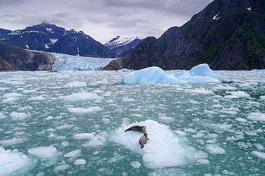 Harbor Seal (Phoca vitulina) mother and pup on iceberg, LeConte Bay, Alaska