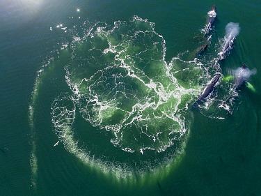 Humpback Whale (Megaptera novaeangliae) pod surfacing after cooperative bubble-net feeding, Frederick Sound, Alaska