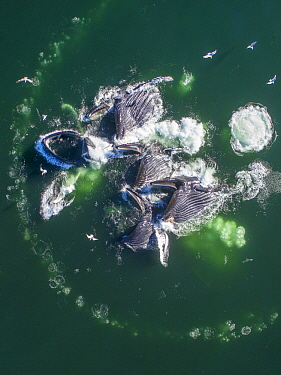Humpback Whale (Megaptera novaeangliae) pod coopertive bubble-net feeding, Frederick Sound, Alaska