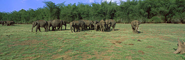 Asian Elephant (Elephas maximus) herd in open area with bamboo forest behind, Nagarhole National Park, Karnataka, India  -  Patricio Robles Gil/ Sierra Madr