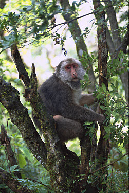 Tibetan Macaque (Macaca thibetana) adult sitting in tree, Sichuan Mountains of south central China and Vietnam  -  Patricio Robles Gil/ Sierra Madr