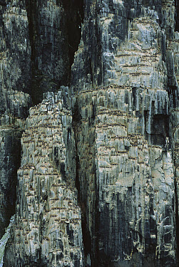 Brunnich's Guillemot (Uria lomvia) breeding colony on cliff face, Spitsbergen, Svalbard, Norway  -  Patricio Robles Gil/ Sierra Madr