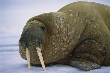 Atlantic Walrus (Odobenus rosmarus rosmarus) resting on ice, Spitsbergen, Svalbard, Norway  -  Patricio Robles Gil/ Sierra Madr