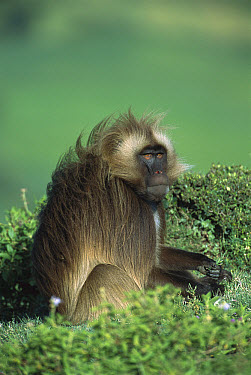 Gelada Baboon (Theropithecus gelada) endemic species, sitting among vegetation in the western highlands of Ethiopia  -  Patricio Robles Gil/ Sierra Madr