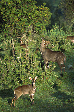 Mountain Nyala (Tragelaphus buxtoni) alert male and female in Bale Mountains National Park, Ethiopian highlands  -  Patricio Robles Gil/ Sierra Madr