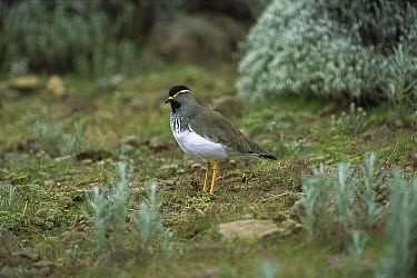 Spot-breasted Lapwing (Vanellus melanocephalus) endemic species, adult portrait in the Bale Mountains, Ethiopian highlands  -  Patricio Robles Gil/ Sierra Madr