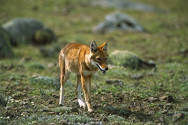 Ethiopian Wolf (Canis simensis) adult trotting across open grassland in Bale Mountains National Park, Ethiopian highlands  -  Patricio Robles Gil/ Sierra Madr