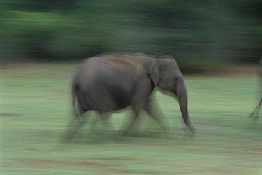 Asian Elephant (Elephas maximus) running, Nagarhole National Park, Karnataka, India  -  Patricio Robles Gil/ Sierra Madr