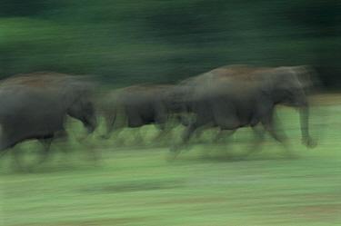 Asian Elephant (Elephas maximus) herd running, Nagarhole National Park, Karnataka, India  -  Patricio Robles Gil/ Sierra Madr