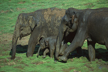 Asian Elephant (Elephas maximus) two adults and a baby walking in Nagarhole National Park, Karnataka, India  -  Patricio Robles Gil/ Sierra Madr