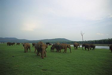 Asian Elephant (Elephas maximus) herd grazing under overcast skies, Nagarhole National Park, Karnataka, India  -  Patricio Robles Gil/ Sierra Madr