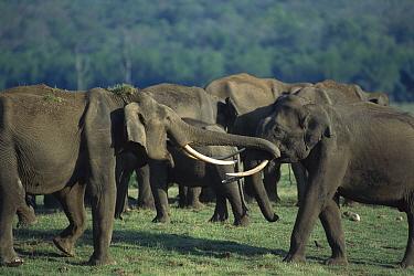 Asian Elephant (Elephas maximus) pair greeting, Nagarhole National Park, Karnataka, India  -  Patricio Robles Gil/ Sierra Madr