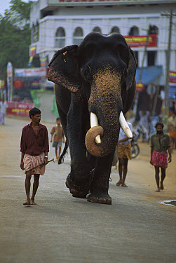 Asian Elephant (Elephas maximus) working elephant ready for ceremonies, walking down road with trainer, Cochin, southwestern Coast of India  -  Patricio Robles Gil/ Sierra Madr
