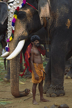 Asian Elephant (Elephas maximus) working elephant dressed for ceremonies with trainer, Cochin, southwestern Coast of India  -  Patricio Robles Gil/ Sierra Madr