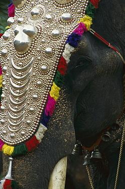 Asian Elephant (Elephas maximus) working elephant dressed for ceremonies, Cochin, southwestern Coast of India  -  Patricio Robles Gil/ Sierra Madr