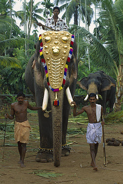 Asian Elephant (Elephas maximus) working elephant dressed for ceremonies with three trainers, Cochin, southwestern Coast of India  -  Patricio Robles Gil/ Sierra Madr