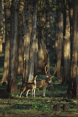 Axis Deer (Axis axis) alert male and female in forest, Ranthambore National Park, India  -  Patricio Robles Gil/ Sierra Madr