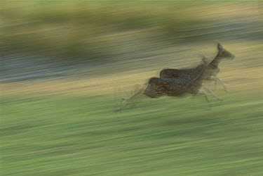 Sambar (Cervus unicolor) pair running, Ranthambore National Park, India  -  Patricio Robles Gil/ Sierra Madr