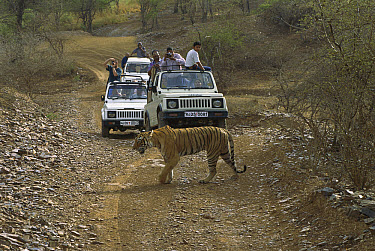 Bengal Tiger (Panthera tigris tigris) female crossing dirt road in front of tourist, vehicles carrying photographers, Ranthambore National Park, India  -  Patricio Robles Gil/ Sierra Madr