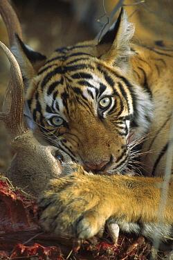 Bengal Tiger (Panthera tigris tigris) cub feeding on Sambar (Cervus unicolor), Ranthambore National Park, India  -  Patricio Robles Gil/ Sierra Madr