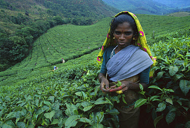 Woman harvesting leaves in tea plantation, Munnar, India  -  Patricio Robles Gil/ Sierra Madr