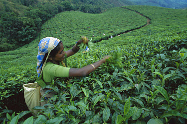 Woman harvesting tea leaves in plantation, Munnar, India  -  Patricio Robles Gil/ Sierra Madr