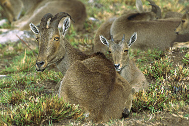 Nilgiri Tahr (Hemitragus hylocrius) female and young resting on ground, Eravikulam National Park, Munnar Forest, Kerala, India  -  Patricio Robles Gil/ Sierra Madr