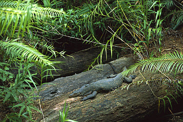 Bengal Monitor(Varanus bengalensis) lizard resting on log, Western Ghats and Sri Lanka  -  Patricio Robles Gil/ Sierra Madr