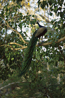 Indian Peafowl (Pavo cristatus) male perched in tree, Ranthambore National Park, India  -  Patricio Robles Gil/ Sierra Madr