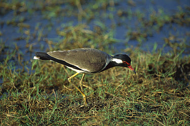 Red-wattled Lapwing (Vanellus indicus) foraging in wetland, Sri Lanka  -  Patricio Robles Gil/ Sierra Madr