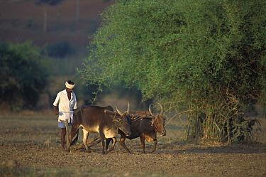 Native farmer using domestic animals to plow land for cultivation near Bangalore, Karnataka, India  -  Patricio Robles Gil/ Sierra Madr