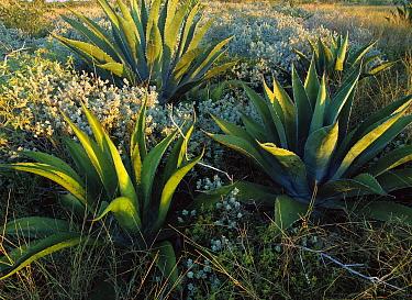 Agave (Agave sp) and Texas Silverleaf (Leucophyllum frutescens), Mexico  -  Patricio Robles Gil/ Sierra Madr